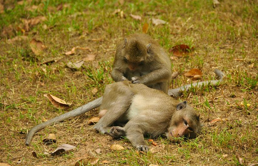 monkeys at angkor thom. december 2011.